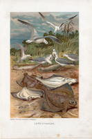 Lepényhalak, litográfia 1907, színes nyomat, eredeti, magyar, Brehm, állat, hal, óceán, tenger