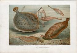 Félszegúszók, litográfia 1907, színes nyomat, eredeti, magyar, Brehm, állat, hal, nyelvhal, óceán