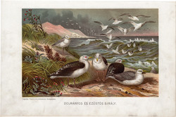 Dolmányos és ezüstös sirály, litográfia 1907, színes nyomat, eredeti, magyar, Brehm, állat, madár