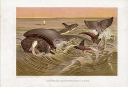 Grönlandi és kardszárnyú bálna, litográfia 1907, színes nyomat, eredeti, magyar, Brehm, állat, óceán
