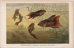 Halak III., színes nyomat 1896, német nyelvű, litográfia, eredeti, hal, tenger, paradicsomhal, régi