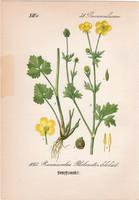 Ranunculus philonotis, litográfia 1882, eredeti, kis méret, színes nyomat, növény, virág, boglárka