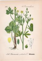 Zellerlevelű boglárka, litográfia 1882, eredeti, kis méret, színes nyomat, növény, virág, Ranunculus