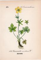 Ranunculus montanus, litográfia 1882, eredeti, kis méret, színes nyomat, növény, virág, boglárka