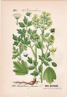Sárga borkóró, litográfia 1882, eredeti, kis méret, színes nyomat, növény, virág, Thalictrum flavum