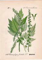 Cimicifuga foetida, litográfia 1882, eredeti, kis méret, színes nyomat, növény, virág, poloskavész