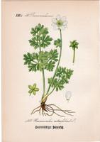 Ranunculus rutaefolius, litográfia 1882, eredeti, kis méret, színes nyomat, növény, virág, boglárka