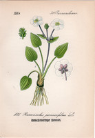 Ranunculus parnassifolius, litográfia 1882, eredeti, kis méret, színes nyomat, növény virág boglárka