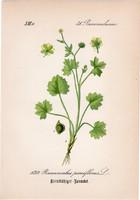 Ranunculus parviflorus, litográfia 1882, eredeti, kis méret, színes nyomat, növény, virág, boglárka