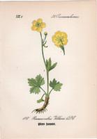 Ranunculus villarsii, litográfia 1882, eredeti, kis méret, színes nyomat, növény, virág, boglárka