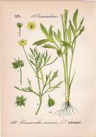 Vetési boglárka, litográfia 1882, eredeti, kis méret, színes nyomat, növény, virág, Ranunculus