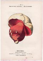 Sátántinóru és begöngyöltszélű cölöpgomba, litográfia 1895, eredeti, kis méret, gomba, színes nyomat