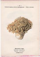 Fodros káposztagomba és foltos pereszke, litográfia 1895, eredeti, kis méret, gomba, színes nyomat