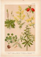 Magyar növények 7, litográfia 1903, színes nyomat, virág, buzér, utilapú, som, sulyom, galaj (3)