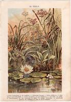 Vízinövények (24), litográfia 1904, színes nyomat, magyar, természetrajz, növény, vízililiom, nád
