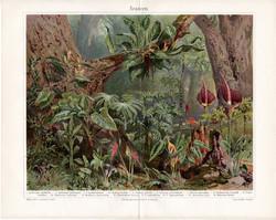 Kontyvirágok, színes nyomat 1903, német nyelvű, eredeti, litográfia, növény, virág, trópus, erdő