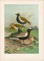 Aranylile, ezüstlile (4), litográfia 1897, eredeti, 29 x 39, nagy méret, madár, nyomat, ujjaslile