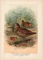 Erdei szalonka (1), litográfia 1897, eredeti, 29 x 39, nagy méret, madár, nyomat, Scolopax rusticola