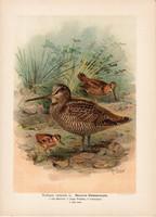 Erdei szalonka (4), litográfia 1897, eredeti, 29 x 39, nagy méret, madár, nyomat, Scolopax rusticola