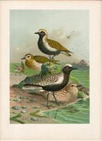 Aranylile, ezüstlile (5), litográfia 1897, eredeti, 29 x 39, nagy méret, madár, nyomat, ujjaslile