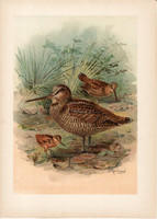 Erdei szalonka (3), litográfia 1897, eredeti, 29 x 39, nagy méret, madár, nyomat, Scolopax rusticola