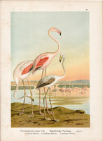 Rózsás flamingó (2), litográfia 1897, eredeti, 29 x 39, nagy méret, madár, nyomat, Phoenicopterus