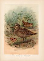 Erdei szalonka (2), litográfia 1897, eredeti, 29 x 39, nagy méret, madár, nyomat, Scolopax rusticola