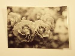 Régi fotó fénykép - Rózsa rózsák növény virág kert - 1960-as évek