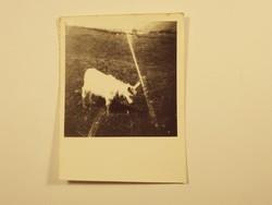 Régi fotó fénykép - Kecske, állat,, rét, mező, ház, falu - 1940-1950-es évek
