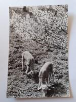 Retro húsvéti képeslap bárányos levelezőlap