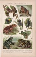 Békák és varangyok, litográfia 1893, színes nyomat, német nyelvű, Brockhaus, béka, varangy, állat