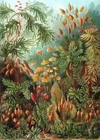 Mohafélék mohafajok páfrányok növény erdő Ernst Haeckel 1904 vintage botanikai illusztráció reprint