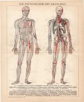 Az ember érrendszere, litográfia 1893, német, színes nyomat, anatómia, ér, gyógyászat, orvos