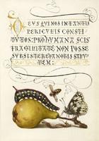 Kalligráfia arany iniciálé botanikai illusztráció körte hernyó lepke méh 16.sz antik kézirat reprint