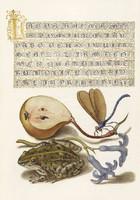 Kalligráfia aranyozott szöveg díszítés illusztráció szitakötő körte béka 16.sz antik kézirat reprint