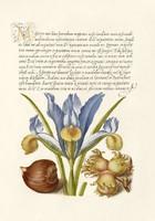 Kalligráfia arany iniciálé kézírás botanikai illusztráció írisz mogyoró 16.sz antik kézirat reprint
