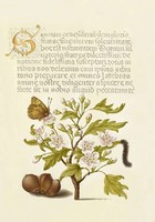 Kalligráfia botanika illusztráció galagonya lepke pillangó hernyó mogyoró 6.sz antik kézirat reprint