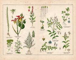 Vízilófark, jázmin, húsos sziksófű, fagyal, veronika, litográfia 1887, eredeti, növény, virág nyomat