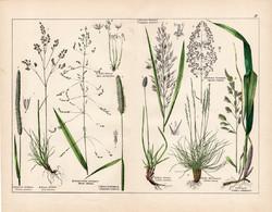 Ecsetpázsit, mezei komócsin, pántlikafű, nád, nárdus, litográfia 1887, eredeti, növény, virág nyomat