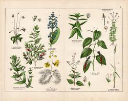 Olajfa, mezei zsálya, fekete bors, rence, peszárce, litográfia 1887, eredeti, növény, virág, nyomat