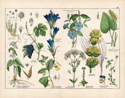Bortermő szőlő, sárga tárnics, kis meténg, ezerjófű, litográfia 1887, eredeti, növény, virág, nyomat