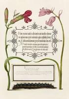 Antik grafika kézirat lap szegfű kékcsengő hernyó rovar rajz botanikai illusztráció reprint nyomat