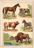 Ló, szamár, zebra, szarvasmarha, bölény, litográfia 1899, eredeti, 24 x 34 cm, nagy méret, állat