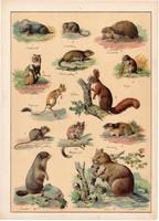 Mókus, mormota, patkány, hörcsög, sündisznó, litográfia 1899, eredeti, 24 x 34 cm, nagy méret, állat