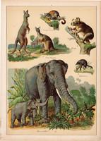 Elefánt, kenguru, oposszum, koala, oposszum, litográfia 1899, eredeti, 24 x 34 cm, nagy méret, állat