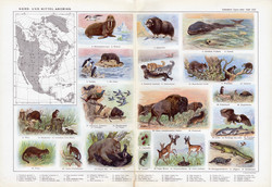 Észak - és Közép - Amerika állatvilága, színes nyomat 1909, eredeti, 32 x 47, német nyelvű, állat