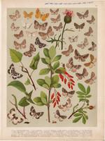 Magyarország lepkéi (50), litográfia 1907, nyomat, lepke, pillangó, hernyó, Larentia Albicillata