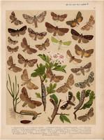 Magyarország lepkéi (36), litográfia 1907, nyomat, lepke, pillangó, hernyó, Dryobota Protea, Virens