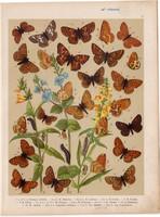 Magyarország lepkéi (11), litográfia 1907, színes nyomat, lepke, pillangó, hernyó, Melitaea Cynthia