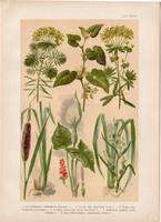 Magyar növények (57), litográfia 1903, színes nyomat, virág, farkas-alma, fűtej, kontyvirág, gyékény